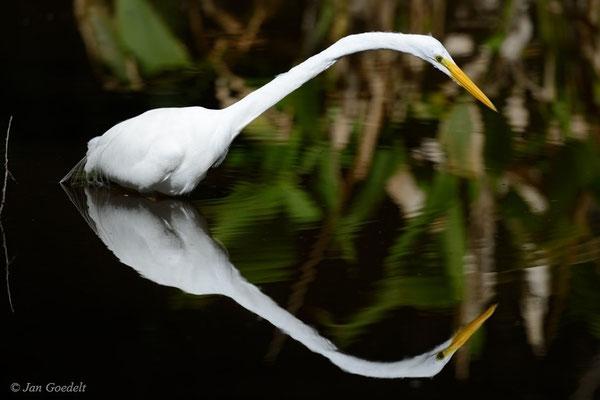 Silberreiher spiegelt sich, Florida