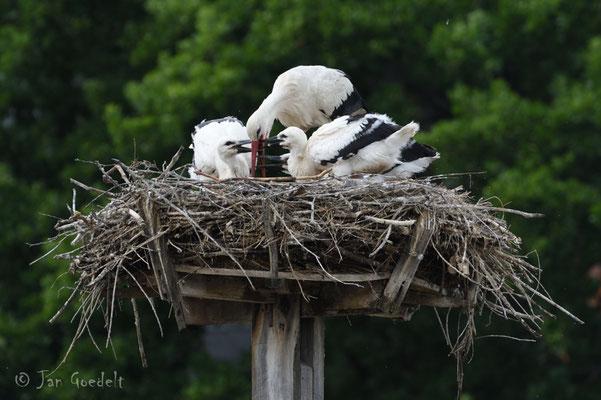 Weißstorch füttert seine bettelnden Jungvögel