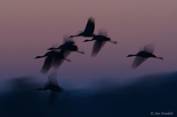 Kraniche fliegen zum Schlafplatz ein (mit langer Belichtungszeit)