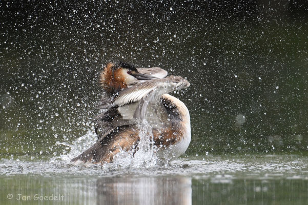 Haubentaucher badet intensiv