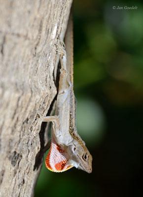 Bahama-Anolis balzt und zeigt seinen farbigen Kehllatz, Florida