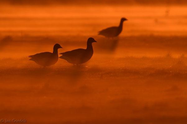 Ringelgänse im Sonnenaufgang