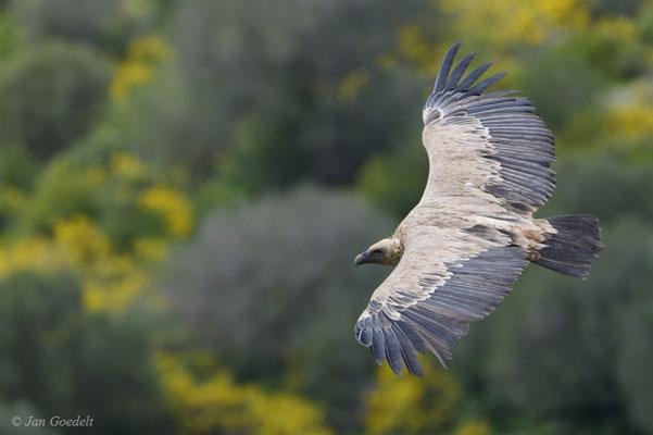 Gänsegeier fliegt über einen Hügel