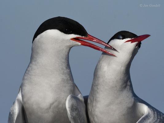 Küstenseeschwalben putzen sich gegenseitig