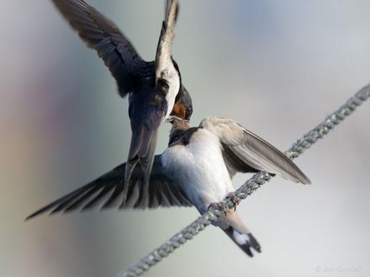 Rauchschwalbe füttert ihren Jungvogel auf einem Boots-Tau
