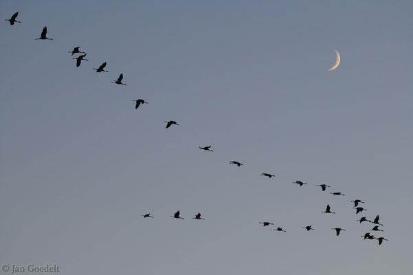 Kraniche fliegen vor Halbmond in Schleswig-Holstein zum Schafplatz ein
