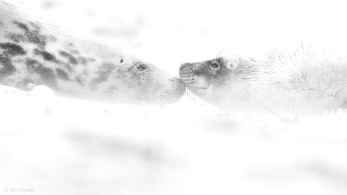Kegelrobbenmutter näselt im Sandsturm mit ihrem Jungtier (High-Key-Aufnahme)