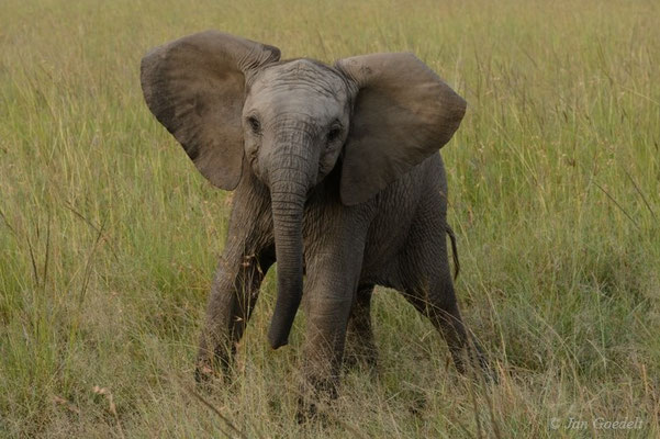 Junger Afrikanischer Elefant droht dem Safarifahrzeug, Masai Mara (Kenia)
