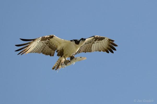 Fischadler fliegt mit Beute zum Horst, Florida