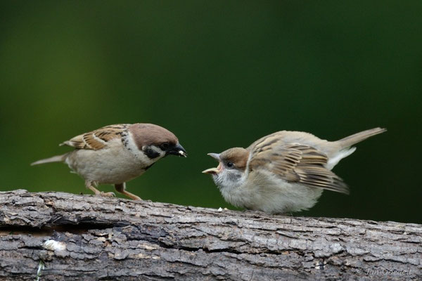 Feldsperling füttert seinen Jungvogel