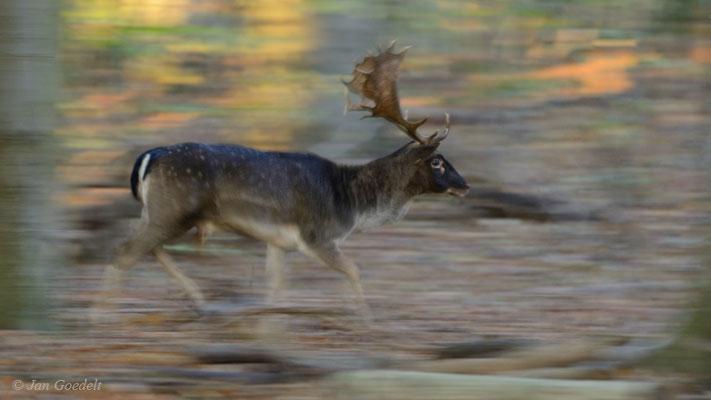 Damhirsch läuft durch den herbstlichen Wald (Wischerfoto)