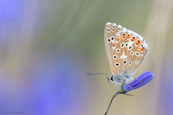 Himmelblauer Bläuling ruht auf Glockenblume