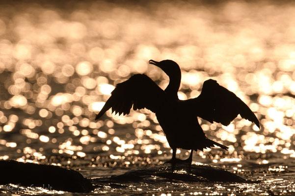 Kormoran trocknet seine Flügel im Sonnenaufgang