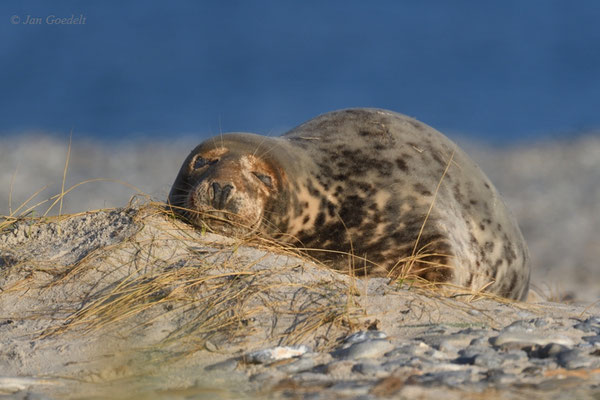 Kegelrobbe schläft am Strand