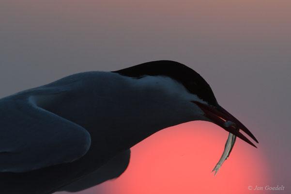 Küstenseeschwalbe mit Brautgeschenk vor untergehender Sonne