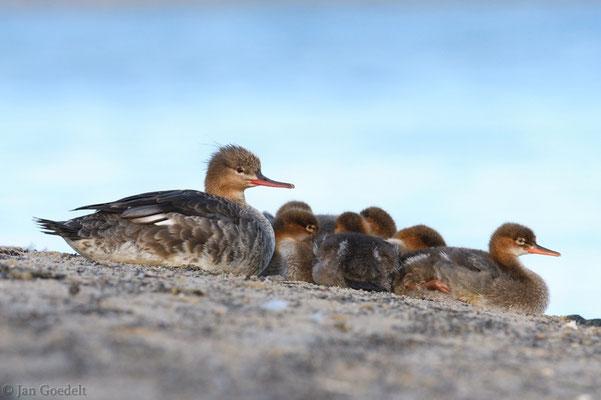 Mittelsäger-Weibchen ruht mit ihren Jungen auf dem Strand