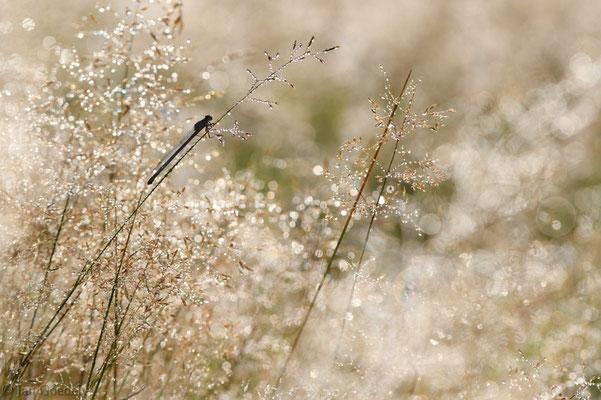 Becher-Azurjungfer im nassen Gras