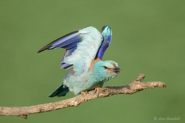 Blauracke flügelt sich