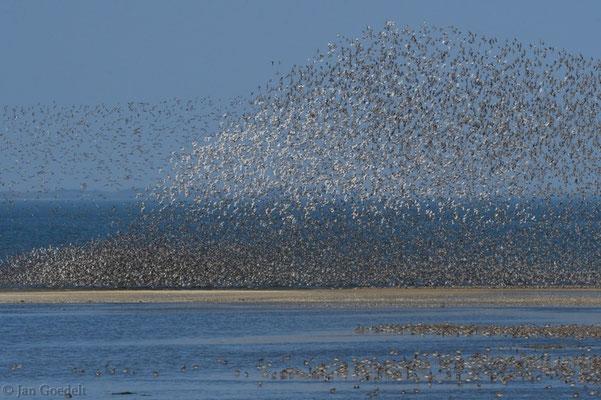 Watvogelschwarm an der Nordseeküste (Knutts und Pfuhlschnepfen)