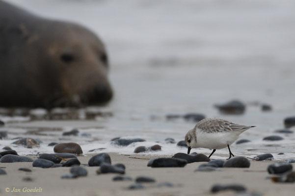 Kegelrobbe schaut auf vorbeilaufenden Sanderling