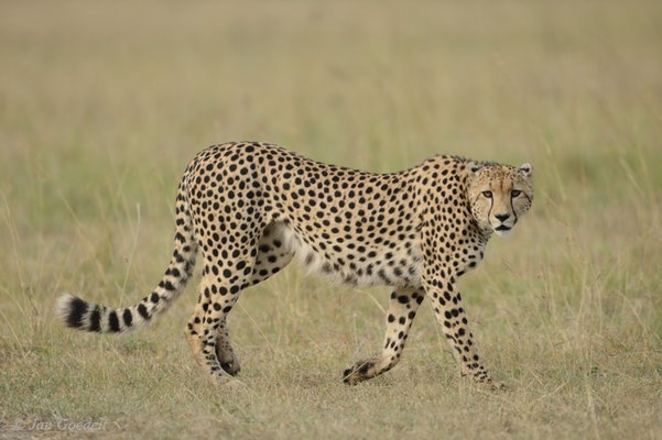 Gepard zieht vorbei, Masai Mara (Kenia)