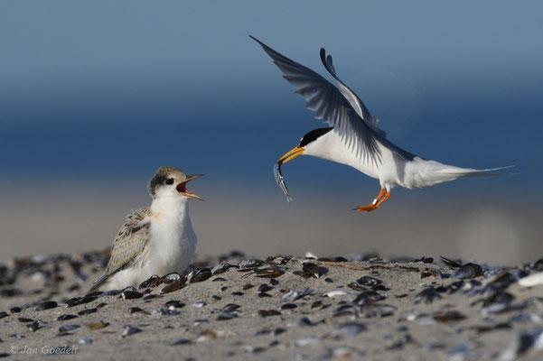 Zwergseeschwalbe im Anflug zur Fütterung