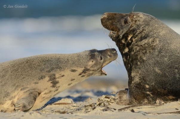 Kegelrobben-Weibchen faucht einen paarungswilligen Bullen an