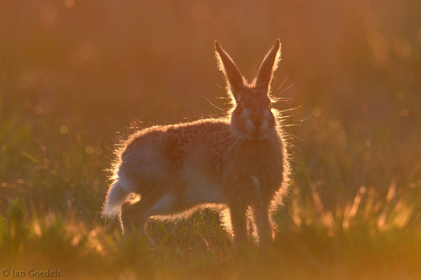 Junger Feldhase im Licht der untergehenden Sonne