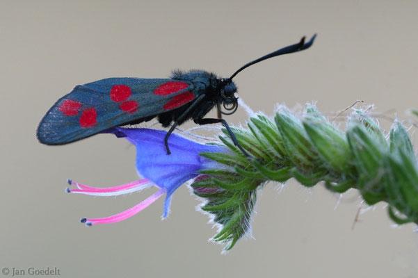 Sechsfleck-Widderchen ruht auf Blüte