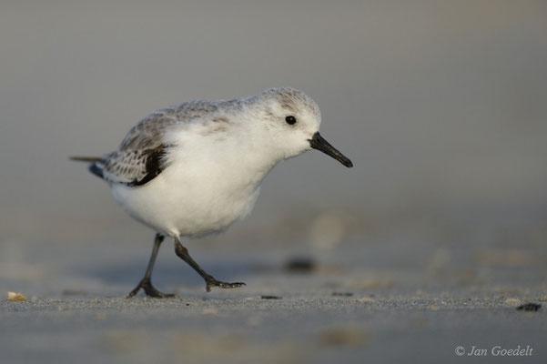 Sanderling am Strand