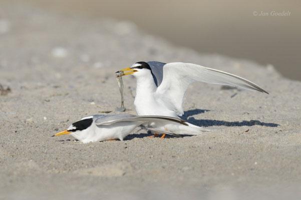 Zwergseeschwalbe mit Brautgeschenk kurz vor der Kopula