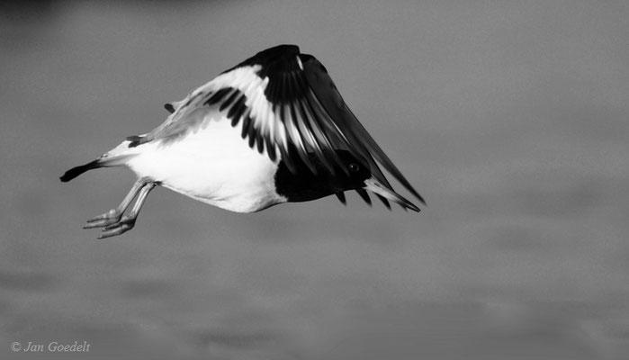 Austernfischer fliegt ab