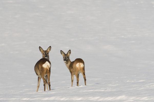 Rehe auf verschneitem Feld