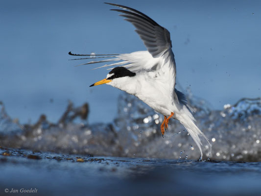 Zwergseeschwalbe startet nach dem Baden
