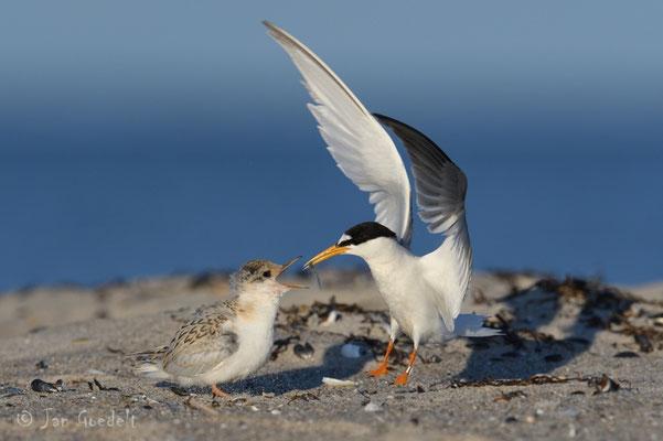Zwergseeschwalbe füttert flüggen Jungvogel