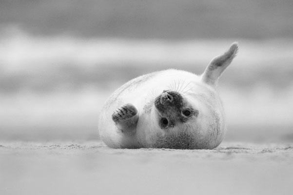 Junge Kegelrobbe kugelt sich auf dem Strand