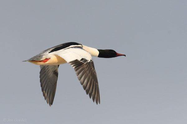 Gänsesäger-Männchen im Flug