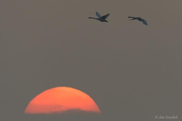 Höckerschwäne vor der untergehenden Sonne