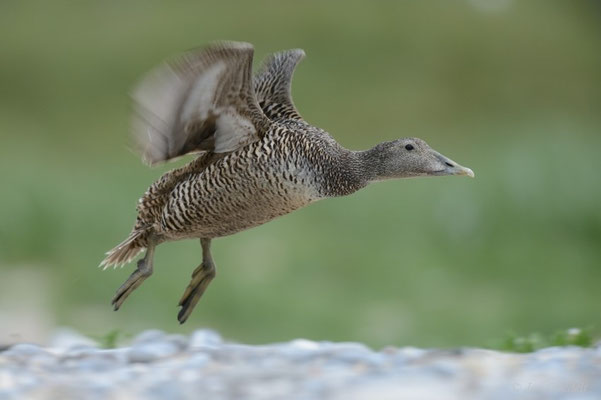 Weibchen der Eiderente fliegt auf