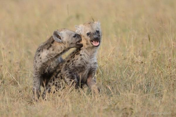 Junge Tüpfelhyänen spielen ausgelassen nahe des Baus, Masai Mara (Kenia)