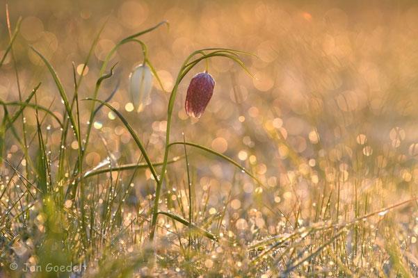 Schachbrettblumen im morgendlichen Gegenlicht