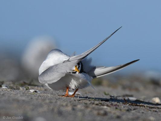 Zwergseeschwalbe putzt ihr Gefieder
