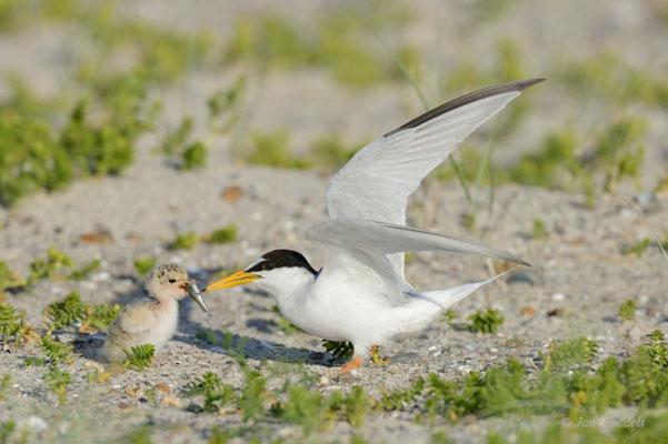 Zwergseeschwalbe füttert ihren Jungvogel