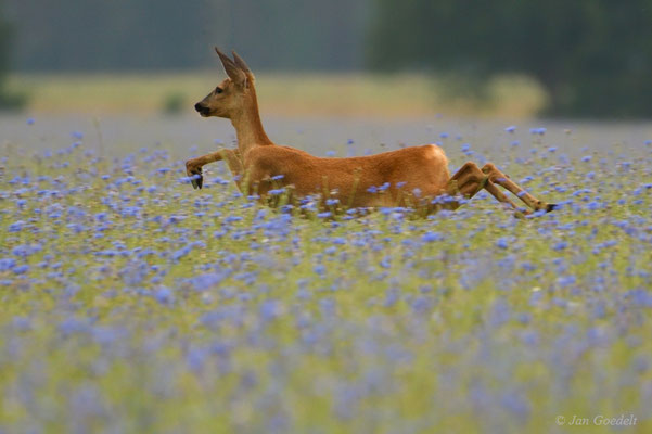 Reh durchspringt eine Kornblumen-Wiese