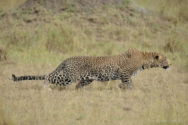 Leopard schleicht sich an Antilopen an, Masai Mara (Kenia)