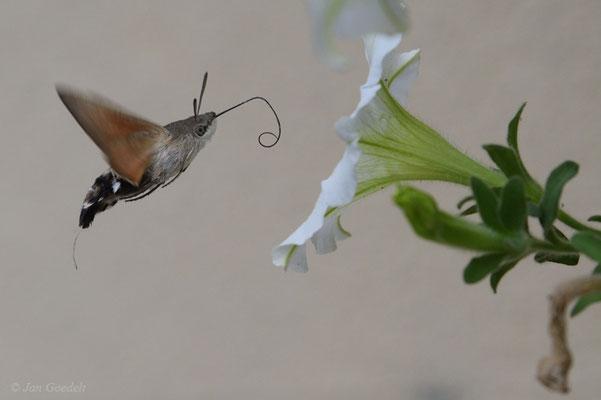 Taubenschwänzchen im Blütenanflug