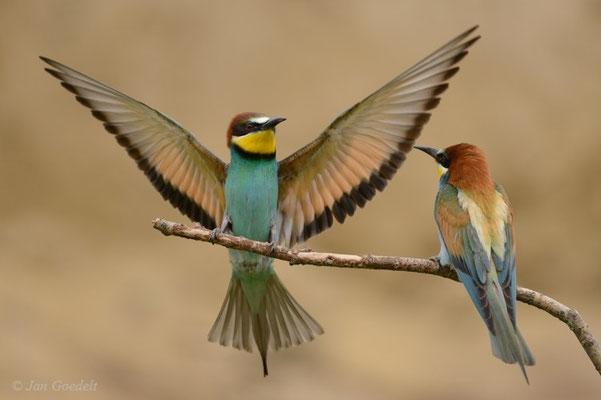 Bienenfresser landet mit ausgebreiteten Flügeln