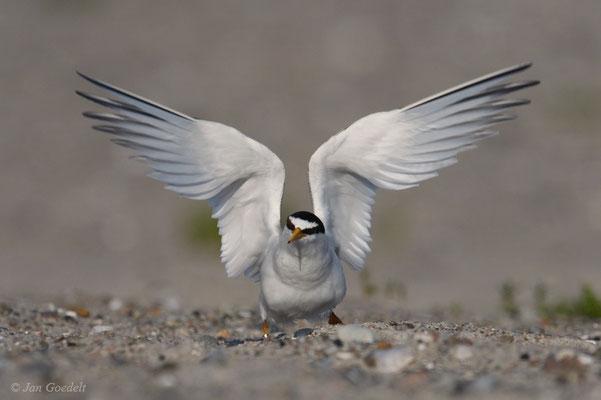 Zwergseeschwalbe landet auf dem Nest