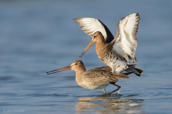 Uferschnepfen paaren sich