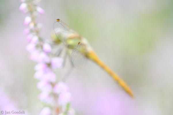 Unausgefärbtes Männchen der Gemeinen Heidelibelle